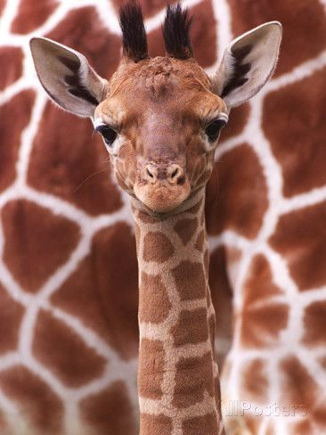 A Three Week Old Baby Giraffe at Whipsnade Wild Animal Park Pictured in Front of Its Mother Fotodruck bei AllPosters.de