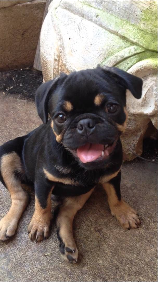 Pug With Rottweiler Markings Youtube Bulldog Breeds Black