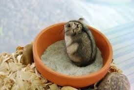 Silver dwarf hamster in a pot.