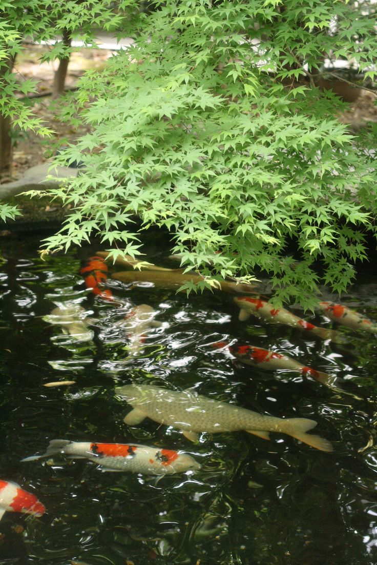508 best koi pond images on pinterest koi ponds for Japanese koi water garden