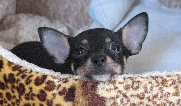 Who D Love A Dog Like This Cute Chihuahua Chihuahua Puppies