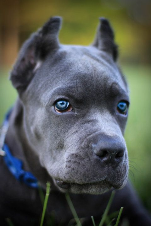 Absolutely beautiful Mastiff pup... and those eyes, wow! I've never seen a mastiff with cropped ears, but regardless, this dog is beautiful.