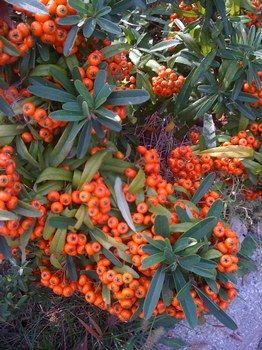 Le bacche rosse d'autunno...