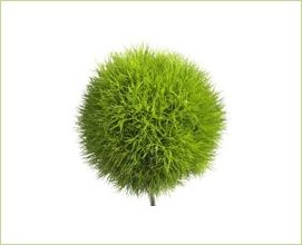 Green Ball - Dianthus - Flowers and Fillers - Flowers by category | Sierra Flower Finder