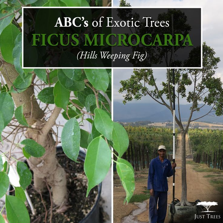 This week's ABC'S of Exotic Trees focuses on the Ficus microcarpa or the Hills Weeping Fig. This tree is an evergreen that is small to medium-sized with a dense, spreading crown. It is known to grow up to 25 metres tall, succeeds in full sun to partial shade and prefers a moist, fertile soil. It is a shade tree and is widely planted in South East Asia and other tropical regions. We currently stock 40L, 100L, 200L and 400L. Check out our website for more information…