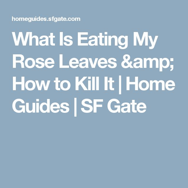 What Is Eating My Rose Leaves & How to Kill It | Home Guides | SF Gate
