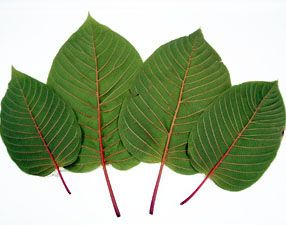 Are you aware of the wonderful health benefits of red vein Thai kratom? If not find out more about the kratom which is known worldwide for its effects.