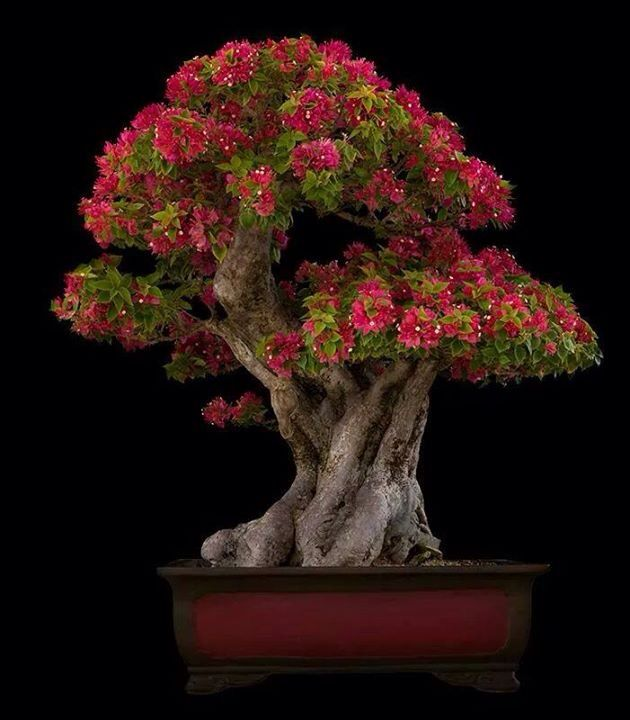 Bougainvillea #Bonsai.  Amazing.