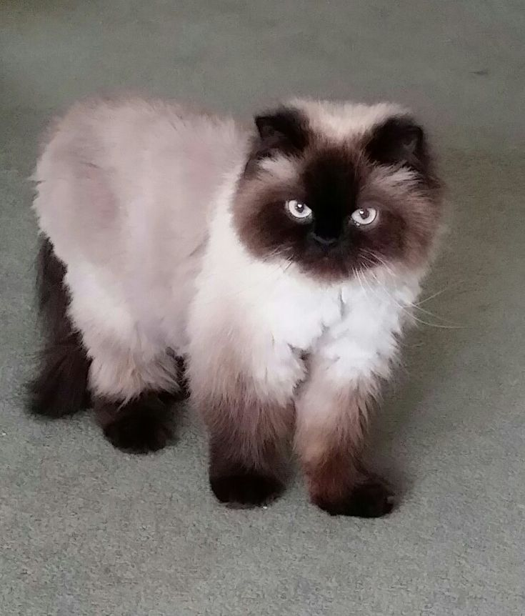 Chocolate Point Himalayan Cat For Sale