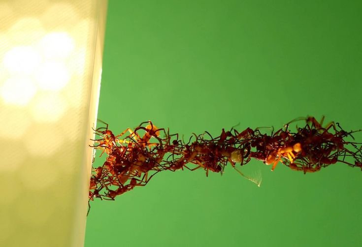 Ants filmed building moving bridges from their live bodies (w/ Video)