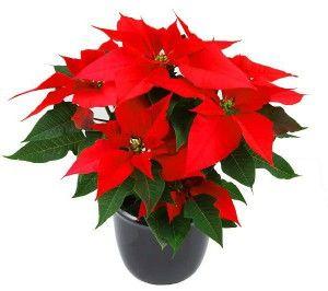 комнатный цветок пуансетияЧтобы пуансетия сохранила яркие цвета своих прицветников ей требуется много света. Взрослый цветок хорошо себя чувствует при освещении зимним солнцем. Молодое же растение необходимо уберегать как от прямых солнечных лучей, так и холодных сквозняков.  Пуансетия не требовательна к теплу. Оптимальной температурой для нее является 15 — 20 °С. Летом, в период отдыха растения, его следует поставить в затененное место.