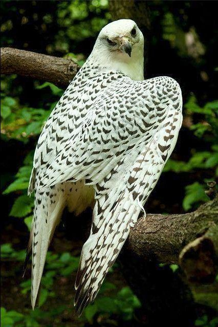 Gyrfalcon, the largest falcon.