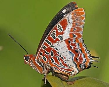 White-barred Charaxes (Charaxes brutus)