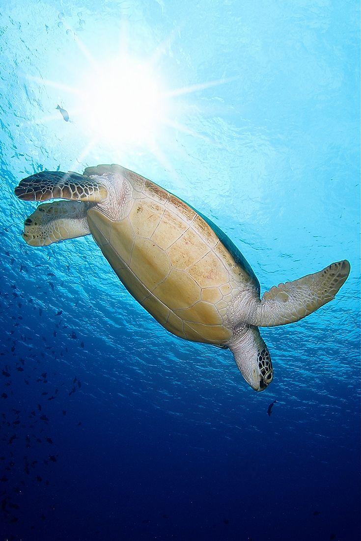 Völlig schwerelos: Diese Schildkröte genießt das glasklare Wasser des Indischen Ozeans sichtlich. | SONEVA FUSHI, Malediven