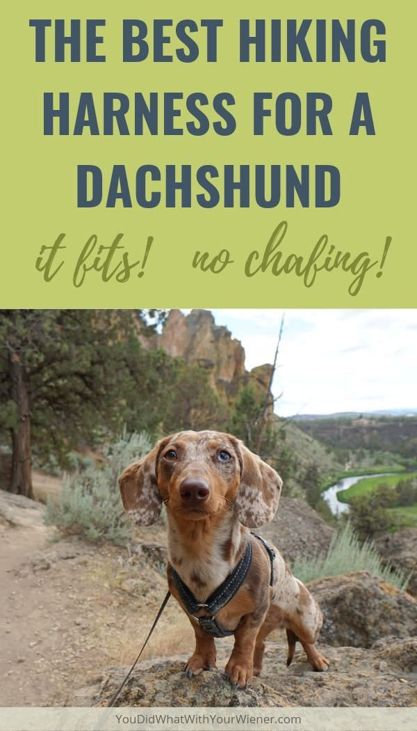 The Best Hiking Harness For A Miniature Dachshund Hiking Dogs