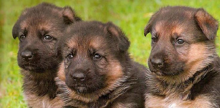 German Shepherds(: