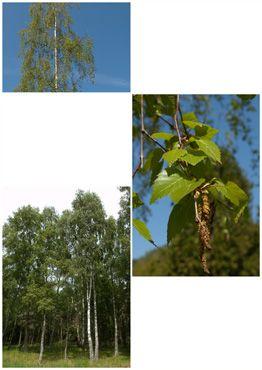 Dansk artsnavn Vortebirk.  Spiselige dele. Friske blade kan anvendes i salat og tørrede blade kan bruges til te. Den sukkerholdige saft kan drikkes frisk eller kan gæres og omdannes til vin.  Farveplante. Bladene kan anvendes til plantefarvning. Giver gule nuancer.  Anvendelse som lægeplante. Bladene af Vortebirk anvendes som et vanddrivende middel i forbindelse med urinvejslidelser, nyregrus og gigt. Bladene indtages som te eller friskpresset saft. Virkningen understøttes af videnskabelige…