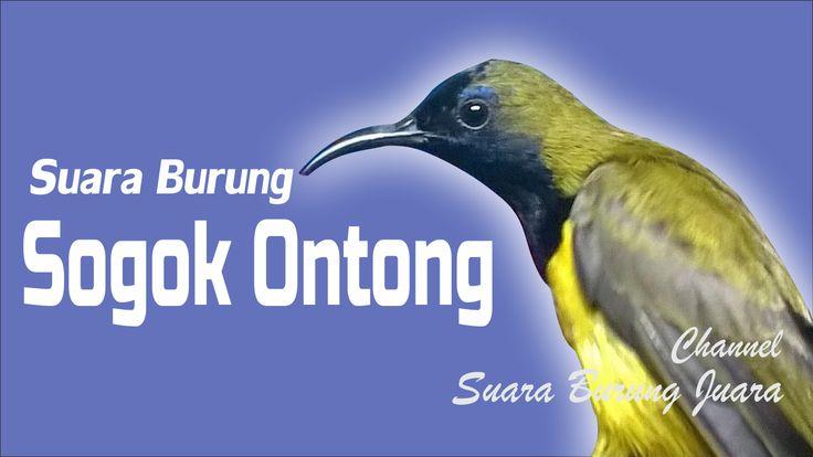 Suara tembakan burung sogok ontong joss untuk #MasteranBurung kacer dan murai batu