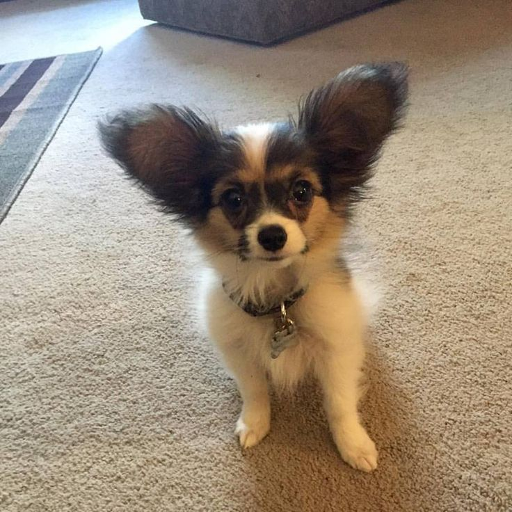 Collection of Papillon Puppies cute, Papillon pics, If You are Papillon Lover, Let follow @cutepestsz to see more pics about Papillon Puppies