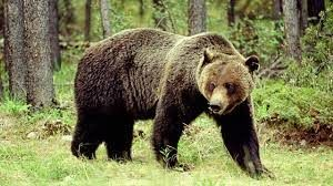 Grizzly Bear Encounter during Huckleberry Picking --  Huckleberries are not only enjoyed by avid pickers, but they are a major source of food for the grizzly bear. According to the Daily Inter Lake website, 17-year old Hunter Dana found out how danger…
