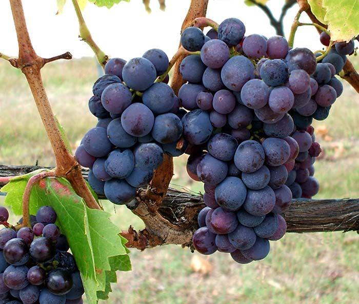 Kadarka é a uva tinta mais conhecida e tradicional da Hungria. Presente também em outros países, como a Romênia, a Bulgária, Croácia e a Austrália.