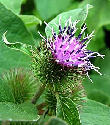 Burdock is a great plant to use for purifying the blood, skin, uric acid, and other built up wastes within the body. These attributes make it an excellent remedy for conditions such as:  High blood pressure and blood sugar and hardening of the arteries, Intestinal discomfort and constipation, Chickenpox and measles, Abscesses, Fever, Rheumatism and other conditions resulting from calcification in joints, Water retention, Stagnation in glandular function including pituitary, lymph…