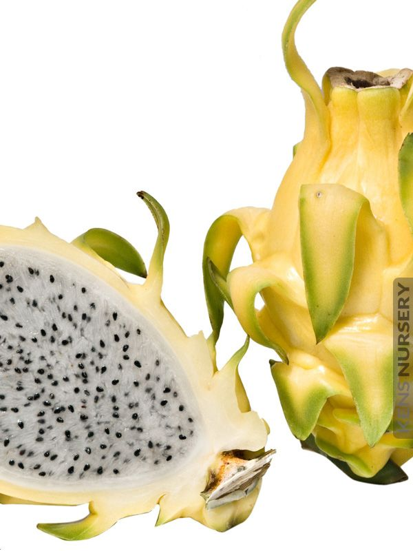 Giant Hawaiian Gold Dragon Fruit Cactus Plant