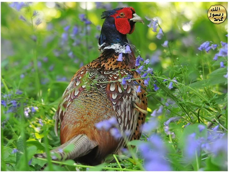 Dişiler daha soluk renkli ve kısa kuyrukludur. Dişiler, yerde çalılıklar, ot ve yaprak kümeleri arasında eştikleri yuvalarda veya yosunlar üzerinde 8-15 yumurta yumurtlarlar.