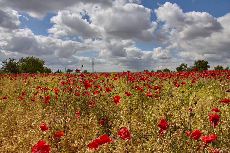 Rojos Amarillos y Blancos, campo de amapolas en plena Fuente del Sol de Valladolid