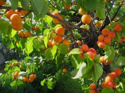 Apricot Tree Problems: Tips For Controlling Insects On Apricots - There's nothing like eating a fresh, ripe apricot straight from the tree. But this only happens when pests are not around. This article examines common apricot tree insects and how to treat them.