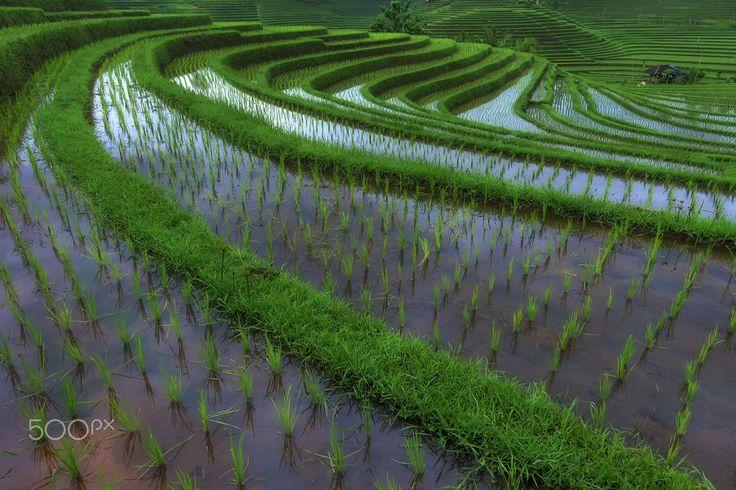 Belimbing Rice Field by Yudik Pradnyana on 500px