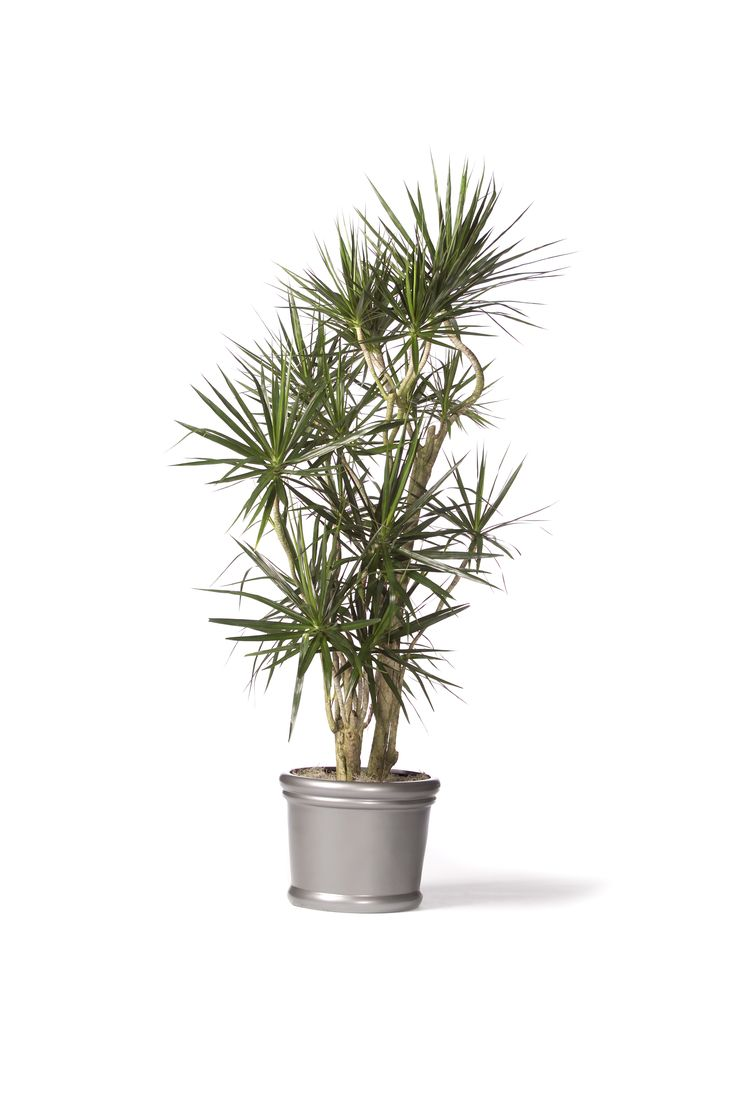 Dracaena marginata red edged dracaena top houseplants for improving indoor air quality - Plants can improve ambience home ...