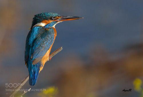 Kingfisher / yalıçapkını by adivar http://ift.tt/1TyFgxh