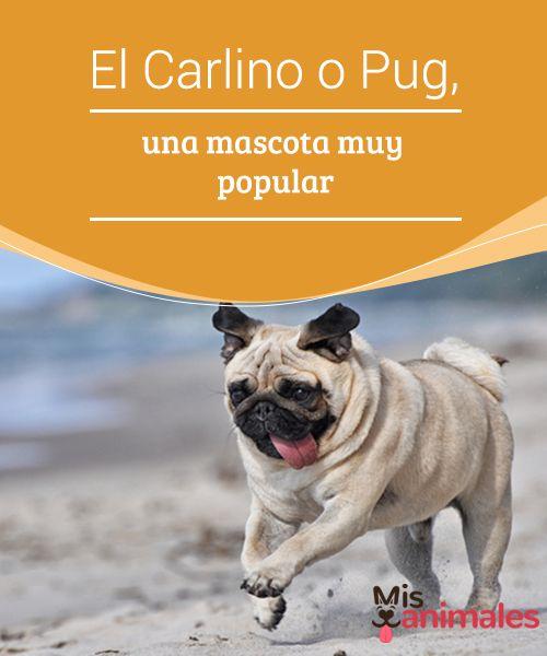 El #Carlino o Pug, una mascota muy popular  El Carlino es también conocido como #Pug o #Doguillo y se trata de una de las razas más #antiguas criadas y originadas en algún lugar del continente asiático.