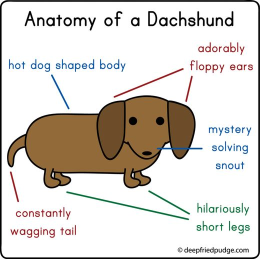 @Breanne Dunn  Saw this and thought of you.Puppies, Sausage Dogs, Dachshund Anatomy, Weenie Dogs, Doxie, Weiner Dogs, Little Dogs, Hot Dogs, Animal