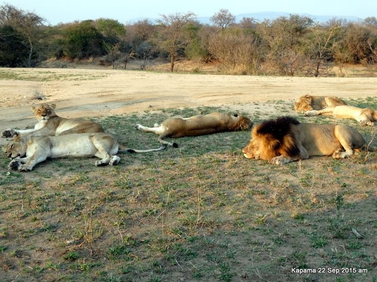 A pride of lions snoozing after an early breakfast.