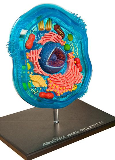 4D Science Animal Cell Model provides a unique way for learning the essential components to these building blocks of life. Animal Cell Model contains 26 super-detailed detachable pieces and features cutaway sections of the various cell parts.