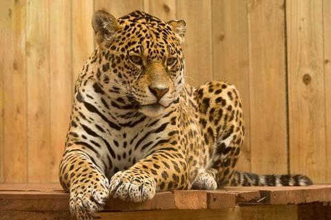 jaguar near threatened status