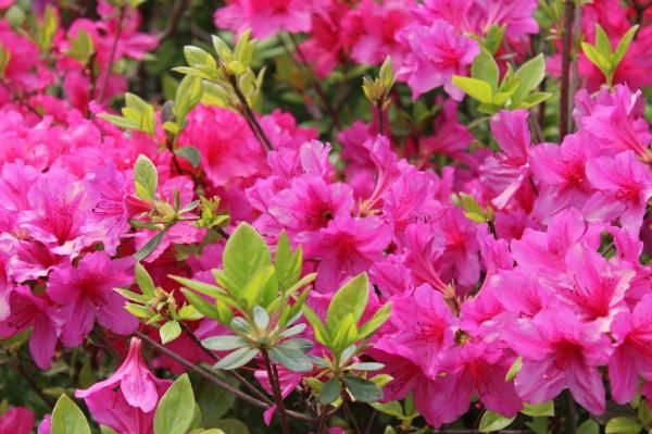 Como fazer azaleia florescer - cuidados para um lindo jardim!. As azaleias são lindas flores do gênero RhododendronL. Apesar de ser originária de países asiáticos distantes, a planta floresce muito bem no clima tropical do Brasil. Ela enfeita e perfuma jardins de...