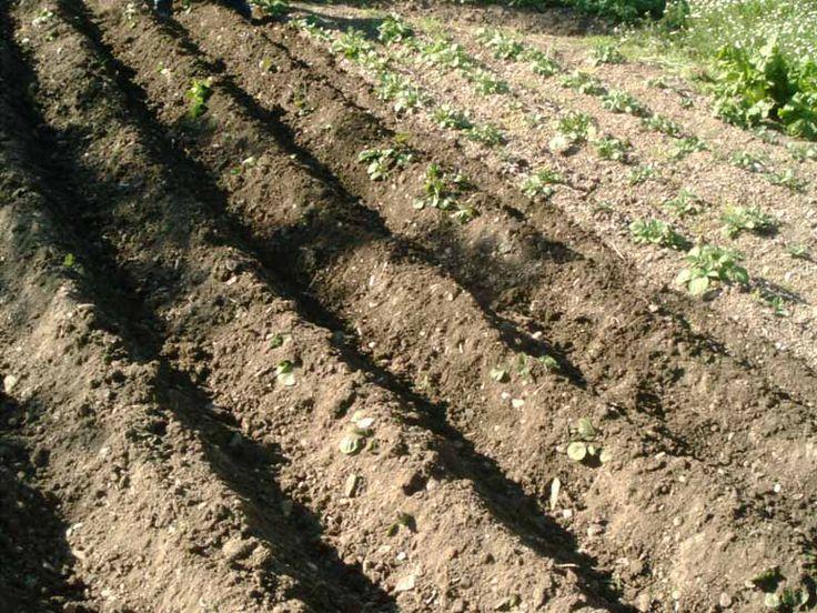 2º Paso para crear nuestro propio huerto en casa: En este paso prepararemos la tierra para el posterior cultivo. Con la ayuda de herramientas tales como azadas, rastrillo, picoletas,etc . Removeremos la tierra con el fin de que esta queda oxigenada y esponjosa. Al mismo tiempo retiraremos las piedras que