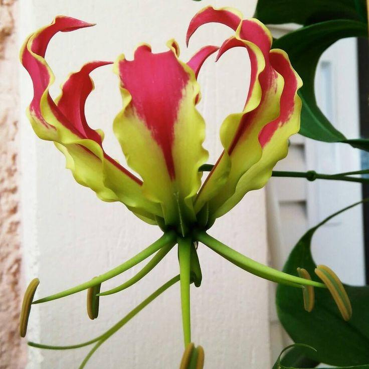 Gloriosa lily 2015