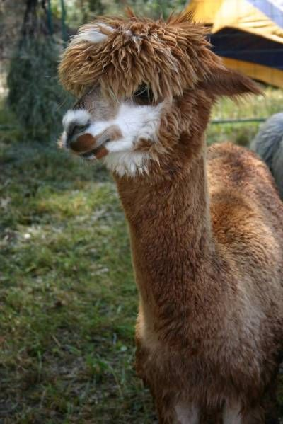 17 Best Images About New Born Alpacas On Pinterest  Baby -4765