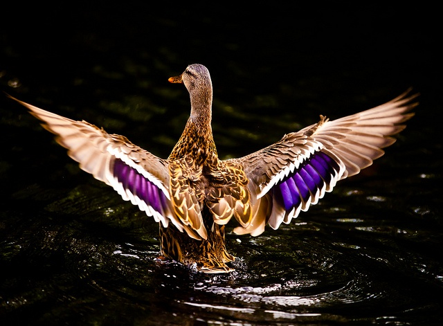 A mallard displaying its wing feathers in Bushy Park, Dublin