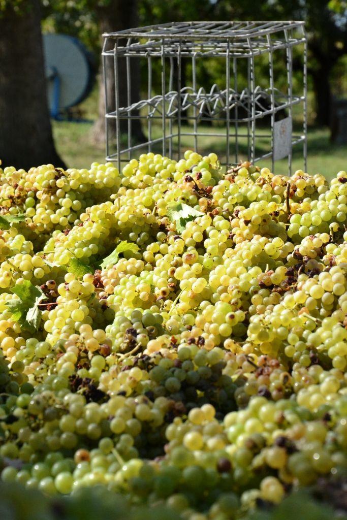 grapes # wine producer  # white wine # www.cabiancadellabbadessa.it # white pinot #