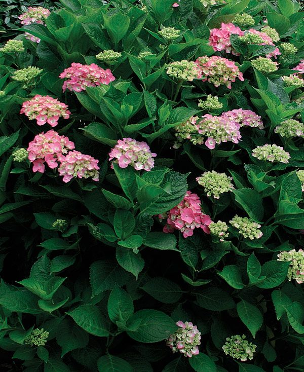 Cutting Back Oakleaf Hydrangea: 17 Best Images About Outdoor And Gardening On Pinterest