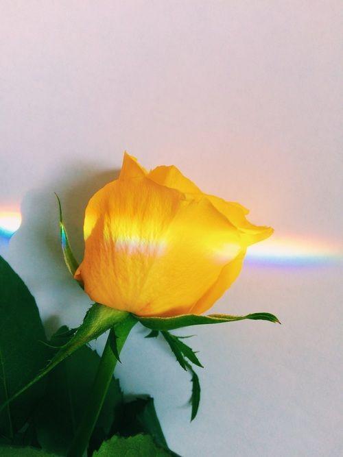 iphone, gelbes und helles Bild yellow rose