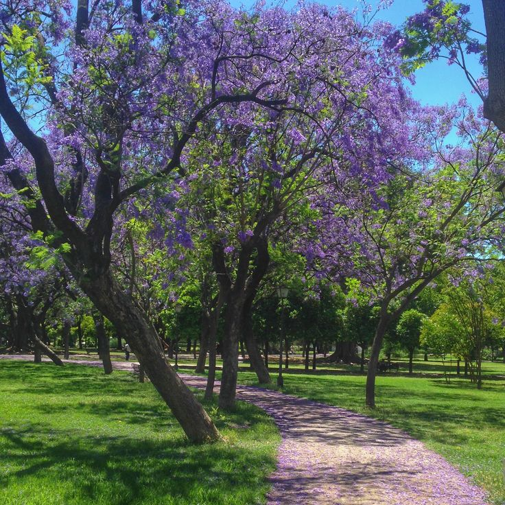 Jacaranda petals on a path in Parque de Los Principes, Seville