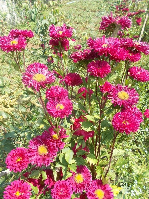 Red Aster Flowers On The Plant Chrysanthemum No 2 Aster Flower Wildflower Garden Flower Garden