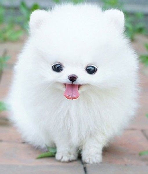 Teacup Pomeranians 101                                                                                                                                                                                 More