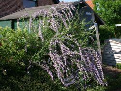 Sommerflieder / Hängeflieder / Schmetterlingsstrauch - Buddleja alternifolia. Blüht Juni/Juli. Sonniger Standort
